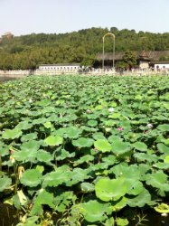 lotus filled the whole garden